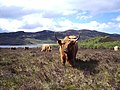 A Highland Cow - geograph.org.uk - 172355.jpg