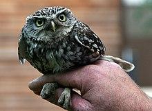 Boîte à plumes  220px-A_Little_Owl_at_Brackenborough_Hall_-_geograph.org.uk_-_858561