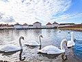 A bevy of swans, adding up to the nature's beautiful evening at Nymphenburg, Munich.jpg