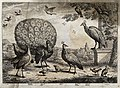 A bustard, peacock and peahen, stock dove and squirrel in th Wellcome V0022162.jpg