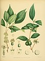 A hand-book to the flora of Ceylon (Plate L) (6430649443).jpg
