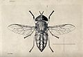 A horse fly (Tabanus socius). Pen and ink drawing by A.J.E. Wellcome V0022595.jpg