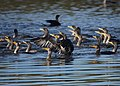 A lot of cormorants (11160145375).jpg
