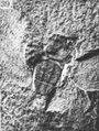 A monograph of the terrestrial Palaeozoic Arachnida of North America photos 36-40 39.png