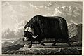 A musk-ox bull on Melville Island, Canada. Mezzotint with en Wellcome V0021571.jpg