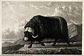 A musk-ox bull on Melville Island, Canada. Mezzotint with en Wellcome V0021571.jpg