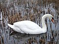 A mute swan in the reedbeds at Thames Valley Park - geograph.org.uk - 97302.jpg