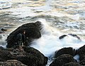 A photographer between waves and mussels 2.jpg