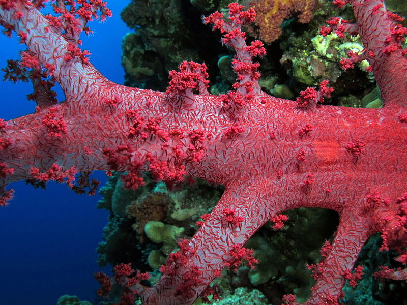 File:A strikingly pretty red Dendronephthya at Elphinstone Reef, Red Sea, Egypt SCUBA.jpg