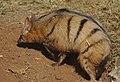 Aardwolf, Proteles cristata, at Lion and Rhino Reserve, Gauteng, South Africa (47987270146).jpg