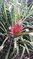 Abacaxi vermelho.jpg