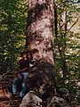 Abies alba subadriatic SE Dinaric Alps Mt Orjen.JPG