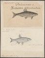 Abramis bipunctatus - 1700-1880 - Print - Iconographia Zoologica - Special Collections University of Amsterdam - UBA01 IZ15000139.tif