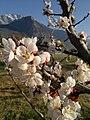 Abricotiers en fleurs - panoramio (2).jpg