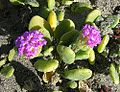 Abronia maratima-- the Red Sand Verbena (27346575732).jpg