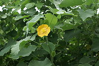 Abutilon indicum flower