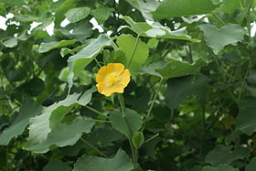 Abutilon indicum flower.JPG