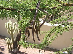 Acacia schaffneri beans