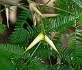 Acacia cornigera 1.jpg
