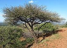 220px-Acacia_nilotica%2C_Wonderboom_Natuurreservaat.jpg