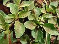 Acanthospermum australe02.jpg