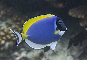 Description de l'image Acanthurus leucostrenon - 2 (E).JPG.