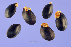 Acacia decurrens - Acacia decurrens (Wendl. f.) Willd. - green wattle seeds