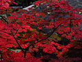 Acer japonicum - Daikakuji,Kyoto 大覚寺のハウチワカエデ DSCF0902.JPG