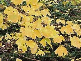 Acer opalus obtusatum0