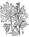 Aconitum-noveboracense01.jpg