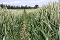 Acres and acres of wheat - geograph.org.uk - 845614.jpg