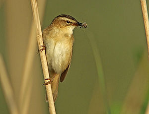 Sedge warbler - Sedge warbler carrying food