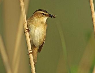Sedge warbler - Sedge warbler carrying food