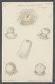 Actinia candida - - Print - Iconographia Zoologica - Special Collections University of Amsterdam - UBAINV0274 109 05 0015.tif