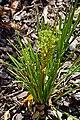 Acyphylla traversi 02.jpg