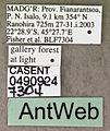 Adetomyrma venatrix casent0490924 label 1.jpg