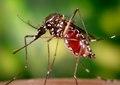 Aedes aegypti CDC9176.tif