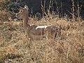 Aepyceros melampus Impala in Tanzania 3485 Nevit.jpg
