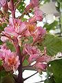 Aesculus carnea bloemenhoofd.jpg