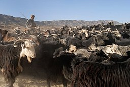 Afghan shepherd and his flock.jpg