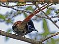 African Paradise Flycatcher RWD4.jpg