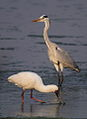 African Spoonbill, Platalea alba with grey heron at Borakalalo National Park, South Africa (9856847604).jpg