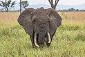 African elephant (Loxodonta africana) 2.jpg