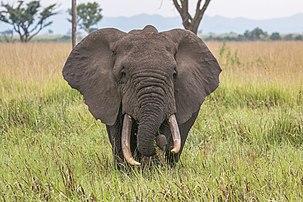 Un éléphant de savane d'Afrique, dans le parc national ougandais Queen Elizabeth. (définition réelle 5327×3552)