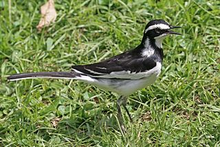 African pied wagtail Species of bird