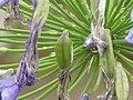 Agapanthus africanus0.jpg