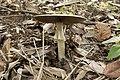 Agaricus abruptibulbus 10.jpg