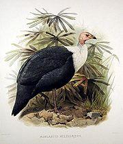 Agelastus meleagrides - Elliot.jpg