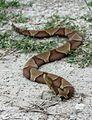 Agkistrodon contortrix (1).jpg