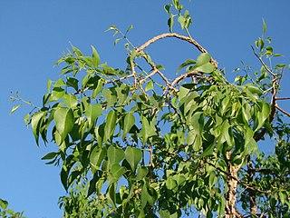 <i>Agonandra</i> genus of plants